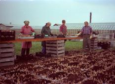 Planterar påskliljor