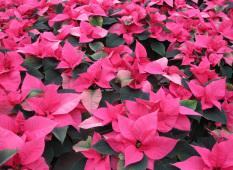 Rosa Julsjärnor