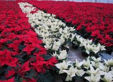 Röda och Vita Julstjärnor