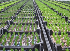 Hyacinther